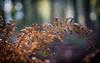 Strings (ursulamller900) Tags: trioplan2950 woods fern farn bokeh spiderweb spinnennetz wald vintagelens handheld autumn autumncolors