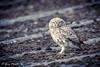 Little Owlet - Athene noctua (Liquidparadox) Tags: owl owlet littleowl canon 500mm garymantle 1dx2 barn bird wild august art