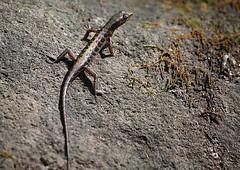 Sphenomorphus melanopogon (odonatanusatenggara) Tags: canon gurushots biodivirsities natgeo bbcwildlife asg denyafrian