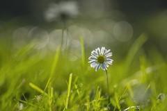 When Autumn sun shines (milance1965) Tags: minolta100mm2 blume sonne sun 2 8macro sony a77 autumn herbst blüte minolta licht