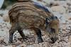 7D_2016_10_14_8244rayon (nomaRags) Tags: rayón jabalí porco bravo sus scrofa wild pig jabato