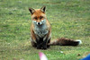 Fox (7) (John Carson Essex UK) Tags: thegalaxy thegalaxystars rainbowofnature supersix foxes ukfoxes