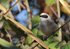 Rémiz penduline (m-idre31 - 6 millions de vues merci) Tags: oiseau bird aves aude gruissan rémizpenduline