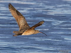 Long-billed Curlew-NANPA (Explore) (Patrick Dirlam) Tags: trips morrobaylososos birds oceanbirds longbilled curlew