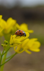 Lady Bird (Noman Zahoor Janjua) Tags: macro nature insect ladybird yellow pollen green red nikon nikond3200 amazing alluring