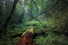 Deep in the Forest (robertdownie) Tags: trees canada red forest log bush green woods moss sticks lichen twigs britishcolumbia spooky vancouverisland remote treetrunk woodland ferns oldgrowth untouched bushland darkforest mosscovered macmillanprovincialpark deepintheforest