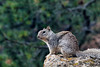 Squirrel (deepskywim) Tags: zoogdieren dieren eekhoorns grandcanyonvillage arizona unitedstates us