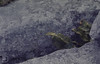 Phyllitis scolopendrium. Thalictrum minus flowers. Black Head Burren (Mary Gillham Archive Project) Tags: 17619 aspleniumscolopendrium burren countyclare hartstonguefern ireland planttree