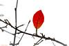 One Single Leaf - SOS :) (Different Aspects) Tags: smileonsaturday onesingleleaf autumn leaf red