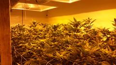 20150422_102904 (CannaPsy) Tags: hydroponics flood drain indoor medical cannabis marijuana weed horticulture high pressure sodium hps og