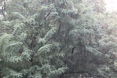 Heavy rain (zeev777) Tags: rain tree mandarin lemon raindrops