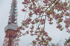 DSC_3430 (維尼賈許) Tags: 2017tokyotrip d610 day7 japan nikon24120mmf4ged tokyotower 增上寺 日本 東京タワー 東京鐵塔 minatoku tōkyōto jp