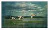 Three Cinnamon Teal Hens in a Shower ~ Original Poem (Johnrw1491) Tags: summer shower cinnamon teals ducks flight marsh lake oregon poem japanese poetry wildlife landscapes