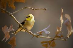 American Goldfinch (shufisher) Tags: bird fall oak american oklahoma goldfinch