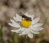 Everlasting view (m&em2009) Tags: everlasting flower grasshopper insect nikon macro close up paper daisy flora nature bush