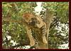 LEOPARD (Panthera pardus) ...MASAI MARA.....SEPT 2017 (M Z Malik) Tags: nikon d3x 200400mm14afs kenya africa safari wildlife masaimara keekoroklodge exoticafricanwildlife exoticafricancats flickrbigcats leopard ngc npc