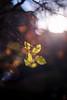 ILCE-7M2-04838-20171208-1612-HDR // Minolta MD 50mm 1:1.7 (Otattemita) Tags: 50mmf17 florafauna minolta minoltamdmdiii50mmf17 fauna flora flower nature plant wildlife minoltamdmdiii50mm117 sony sonyilce7m2 ilce7m2 50mm cnaturalbnatural ota