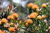 IMG_7130 (XimoPons : vistas 4.000.000 views) Tags: ximopons australia flores oceania flowers