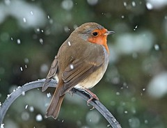Robin in the Snow  (Explored) (Bogger3.) Tags: robin snowing mygarden verycold canon7dmk2 tamron150x600lens shropshire mealworms sunflowerseeds uk coth5 ngc