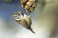 Crested Tit (J J McHale) Tags: crestedtit lophophanescristatus nature scotland highlands cairngorms
