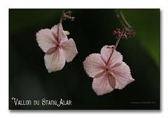 Vallon du Stangalard 2017 - L'Hortensia (porte-plume) Tags: stangalard stangalar brest
