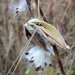 Common Milkweed Seeds thumbnail