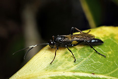 Ichneumon wasp ? #1 (Lord V) Tags: macro bug insect wasp ichneumon