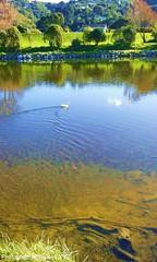 167. Lone White Duck (Meili-PP Hua 2) Tags: recreation relax rest chillout parks parksrecreation landscape mlpphlandscape mlpphfauna bird birds wildbirds