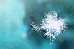 Dandelion (Suresh V Raja) Tags: dandelion flower nature forest winter yercaud salem blue colors nikon suresh chennai tamilnadu india sureshcprog sureshphotography d5300