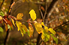 Herbstbunt - autumn colored (thorvonassgard) Tags: blätter herbst bunt farben ast november wald baum autumn leaves colorful colors branch forest tree nikon5100 sigma 1770 cyberlink photodirector
