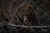 I See You (wyrickodiak_9) Tags: kodiak alaska brown bear grizzly sow cubs fishing river island mammal wildlife apex predator
