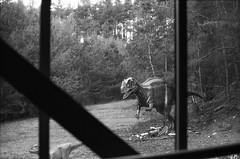 Es gibt Tage die man besser drinnen verbringen sollte... (skinner08) Tags: canon ftb analog kleinbild agfa apx100 adonal 150 10min canoscan 8800f selfdeveloped schwarz weis black white dinopark wildlife