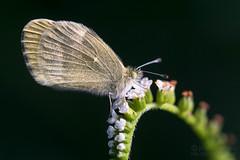 Dainty Sulphur (jciv) Tags: butterfly daintysulphur file:name=dsc09033 macro flower