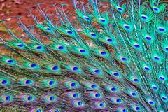 (Aiel) Tags: peacock feathers fan yercaud deerpark annapark shevaroys tamilnadu colourful canon60d canon24105f4lis peafowl aves galliformes phasianidae phasianinae pavocristatus