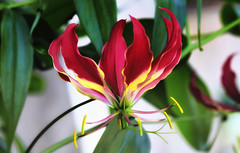 """GLORIOSA • <a style=""""font-size:0.8em;"""" href=""""http://www.flickr.com/photos/74556356@N04/37709738284/"""" target=""""_blank"""">View on Flickr</a>"""