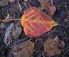 Leaf (dicktay2000) Tags: stives australia g11 20110417img1463