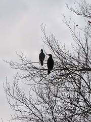 Kormorane am Decksteiner Weiher (mama knipst!) Tags: kormoran baum geäst decksteinerweiher köln cologne herbst autumn november