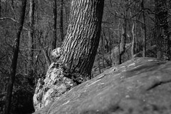 symbiosis (fallsroad) Tags: tulsaoklahoma turkeymountain riversidepark nature natural woods forest boulder stone tree clinging blackandwhite bw monochrome