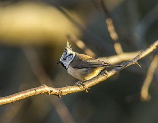 European crested tit