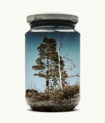 """Couple of Pines"" (Fetmano) Tags: doubleexposure multipleexposure incamera d800e manipulation jar childhood nostalgia christofferrelander finland raseborg"