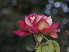 P9041665 (Vladimir V. Samoylov) Tags: plant flower μ43 m43 micro43 microfourthirdsmicro43 mzuikodigitaled40150mm128pro em5markii omd olympus