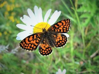 Butterfly 1499