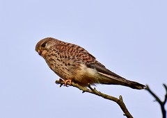 Kestrel - Taken at Ryson's Lake, Titchmarsh Nature Reserve, Aldwincle, Northants. UK (Ian J Hicks) Tags: