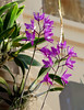 Laelia gouldiana 1-4 species orchid 10-17* (nolehace) Tags: laelia gouldiana 14 species orchid 1017 fall nolehace sanfrancisco fz1000 flickrelite plant bloom flower