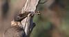 noisy friarbird (Philemon corniculatus)-6065 (rawshorty) Tags: rawshorty birds canberra australia act namadgivisitorcentre