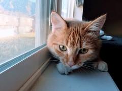 Lexi (LionessLeesha) Tags: ledge window closeup lagata portrait ginger kitten cat