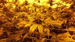 20150512_095238 (CannaPsy) Tags: hydroponics flood drain indoor medical cannabis marijuana weed horticulture high pressure sodium hps og