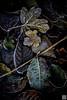 sweet tobacco (gregor H) Tags: balzers liechtenstein li tobacco sweet leaves autumn dark black warm