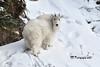 Mountain Goat DSC_2540 (Ron Kube Photography) Tags: mountaingoat mammal animal jasper nikon nikond500 d500 ronaldok fauna nature ronkubephotography