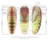 A moth pupa explained (Franziska Bauer) Tags: entomology lepidoptera insectpupa mothpupa bodyparts legs head abdomen thorax proboscis wings wingsheath insectbody metamorphosis metamorphose schmetterlingspuppe butterflypupa